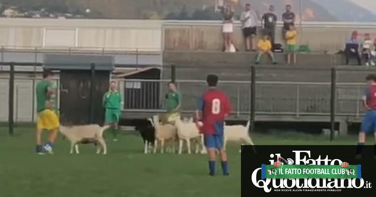 """Domeniche bestiali – Trentino, le capre fanno invasione di campo. In Piemonte c'è chi chiede all'arbitro di """"segnare espulso"""" il compagno"""