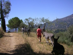 Asini nelle campagne dell'Isola d'Elba
