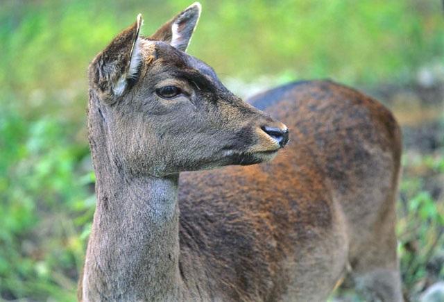 cerbiatta nella foresta - foto di Vittorio Giannella